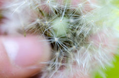 Close-up photo of a ripe dandelion. Fluff with a finger Royalty Free Stock Photos