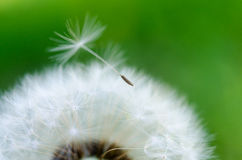 Close-up photo of a ripe dandelion. And selected fluff Stock Image