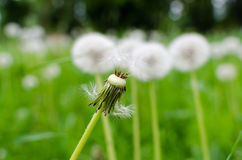 Close-up photo of a ripe dandelion. And selected fluff Royalty Free Stock Photos