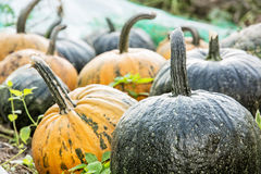 Close up photo of ripe pumpkins in the field, autumn harvest Stock Photos