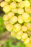 Close up photo of Ripe White grapes on vine Stock Images