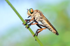 Robber fly on a weed stem stock photography