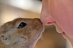 Close Up Photo of Rodent and Person Royalty Free Stock Image