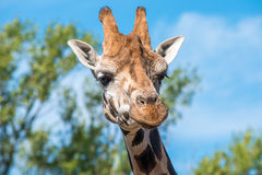 Close up photo of a Rothschild Giraffe Royalty Free Stock Photo