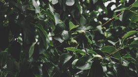 Close-up Photo of Round Green Fruits Stock Photography