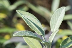 Close-up photo of sage leaves on a meadow with a blurred background stock photography