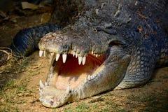 A close-up photo of a saltwater crocodile Crocodylus porosus, also known as the estuarine crocodile, Indo-Pacific crocodile, mar stock photo