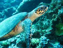 Close up photo of a sea turtle. The photo is in yellow and blue colors. the part of fin is appeared. Photo taken in wild life royalty free stock image