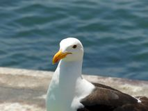 Close-up photo of a seagull at a fisher`s market stock photo