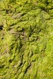 Close-up photo of seaweed on the seashore.  Royalty Free Stock Photos