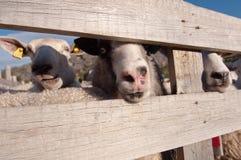 Close-up photo of the sheeps muzzles Stock Photos