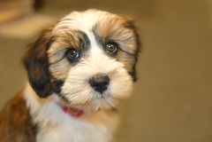 Close Up Photo of Shih Tzu Puppy stock photos