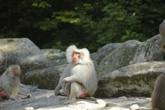 Close up photo of sitting baboon royalty free stock image