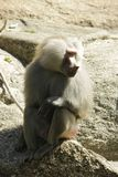 Close up photo of sitting baboon stock images
