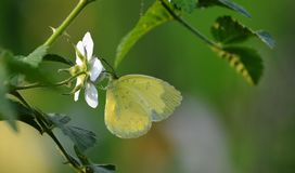A sleepy orange butterfly on wild berry flower stock images