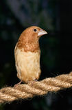 Close up photo of small brown bird. On a thick rope Stock Photo