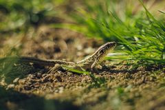 Close up photo of small brown - green camouflage lizard in the grass resting on ground soil on sunny day. Small European lizard. In the garden looking and royalty free stock photo