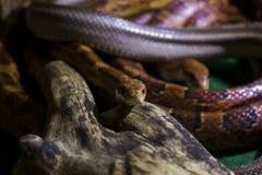 Close up photo of a snake royalty free stock photos