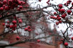 Close up photo of spider`s web with dew drops hanging from red crab apple tree in autumn. Close up of spider`s web with dew drops hanging from red crab apple stock image