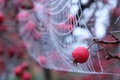 Close up photo of spider`s web with dew drops hanging from red crab apple tree in autumn. Close up of spider`s web with dew drops hanging from red crab apple royalty free stock image