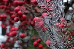 Close up photo of spider`s web with dew drops hanging from red crab apple tree in autumn. Close up of spider`s web with dew drops hanging from red crab apple royalty free stock photography