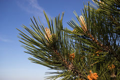 Close-up photo of spruce branch. Stock Images