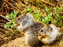 Close-Up Photo of 2 Squirrels. A photo of 2 squirrels that were eating in Yosemite National Park royalty free stock images