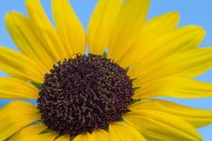 Close up photo of sunflower with blue sky in the background. royalty free stock photos