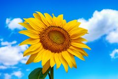 Close-up photo of sunflower flower on farm field, with blue sky. And white clouds in background, on a bright summer day royalty free stock photography
