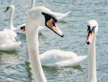 Close up photo of Swans – Cygnus, birds scene Stock Image