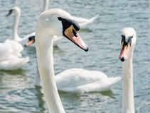 Close up photo of Swans – Cygnus, birds scene Stock Image