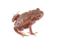 Close up photo of a toad isolated on a white background Stock Photos