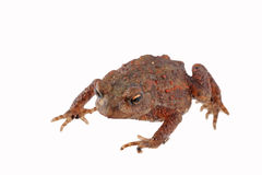 Close up photo of a toad isolated on a white background Stock Photography
