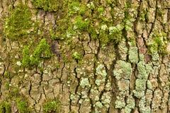 Tree texture Royalty Free Stock Image