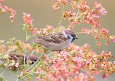 Close up photo of tree sparrow on the pink flower. Isolated on beige blurry background Stock Photography