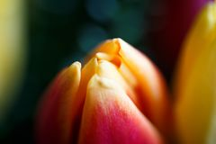 Close-up photo of tulip bouquet, colorful flowers, spring mood. Close-up mcro photo of tulip bouquet, colorful flowers, spring mood Royalty Free Stock Image