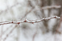Close up photo of twig with red thorns covered with ice Stock Photography