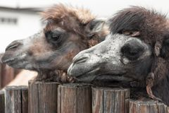 Portrait of two camels. Zoo stock photo