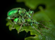 Close Up Photo of Two Jewel Weevils on Green Leaf stock photos