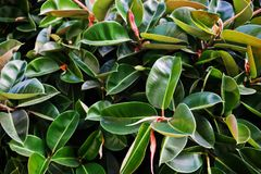 Close-up photo of vibrant green tropical leaves of ficus plant. / Stock Image