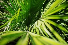 Close-up photo of vibrant green tropical palm leaves.  Stock Photos