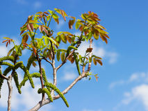 Close-up photo of walnut tree blossoms and shoots Royalty Free Stock Image