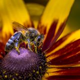 Close-up photo of a Western Honey Bee gathering nectar and spreading pollen. Royalty Free Stock Photography