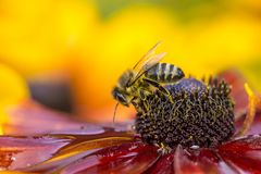 Close-up photo of a Western Honey Bee gathering nectar and spreading pollen. Stock Photos