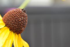 Close up photo of a wet yellow and brown wildflower gray background Stock Image