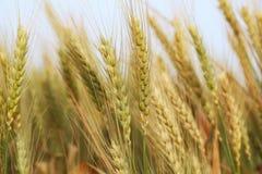 close up photo of wheat field. stock image