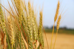close up photo of wheat field royalty free stock images