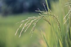 Close Up Photo of Wheat Plant Stock Images