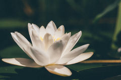 Close Up Photo of a White Blooming Petaled Flower Stock Images