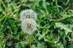 Close Up Photo of White Dandelion Royalty Free Stock Photo